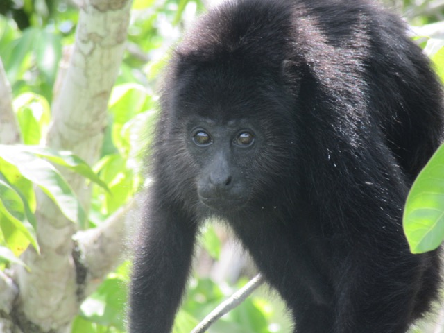 We heard lots of howler monkeys as we climbed the pyramids. Gregor managed to capture one up close.