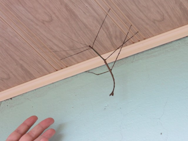 Stick insect or phasmid (italics) at the hostel