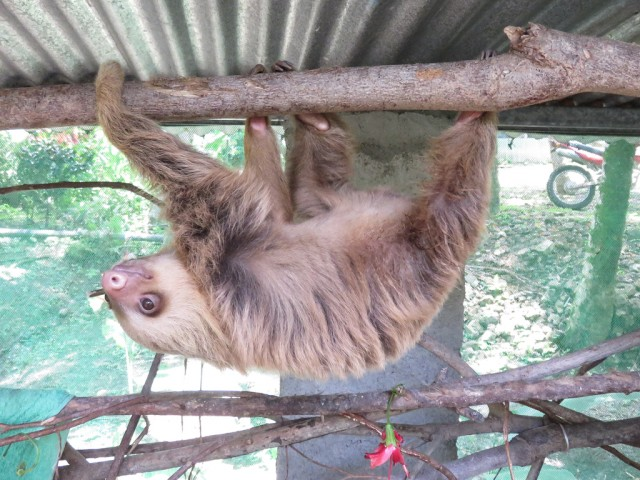 This young two-toed sloth had fallen out of a tree and was rescued by the finca's owners.