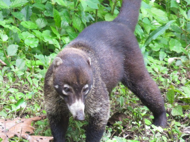 Coati, a member of the raccoon family