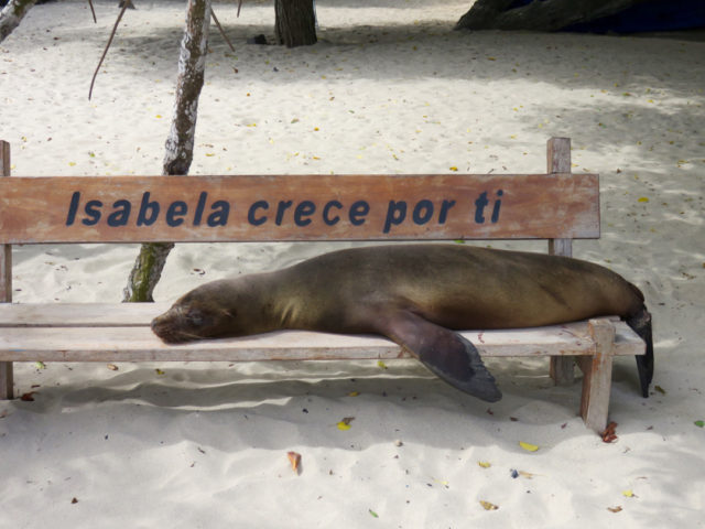 The Galapagos sea lion