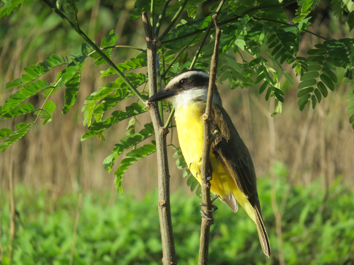A boat-billed flycatcher