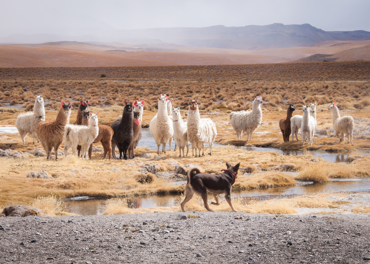 Lorenzo rounding up the llamas. Photo by Ben.