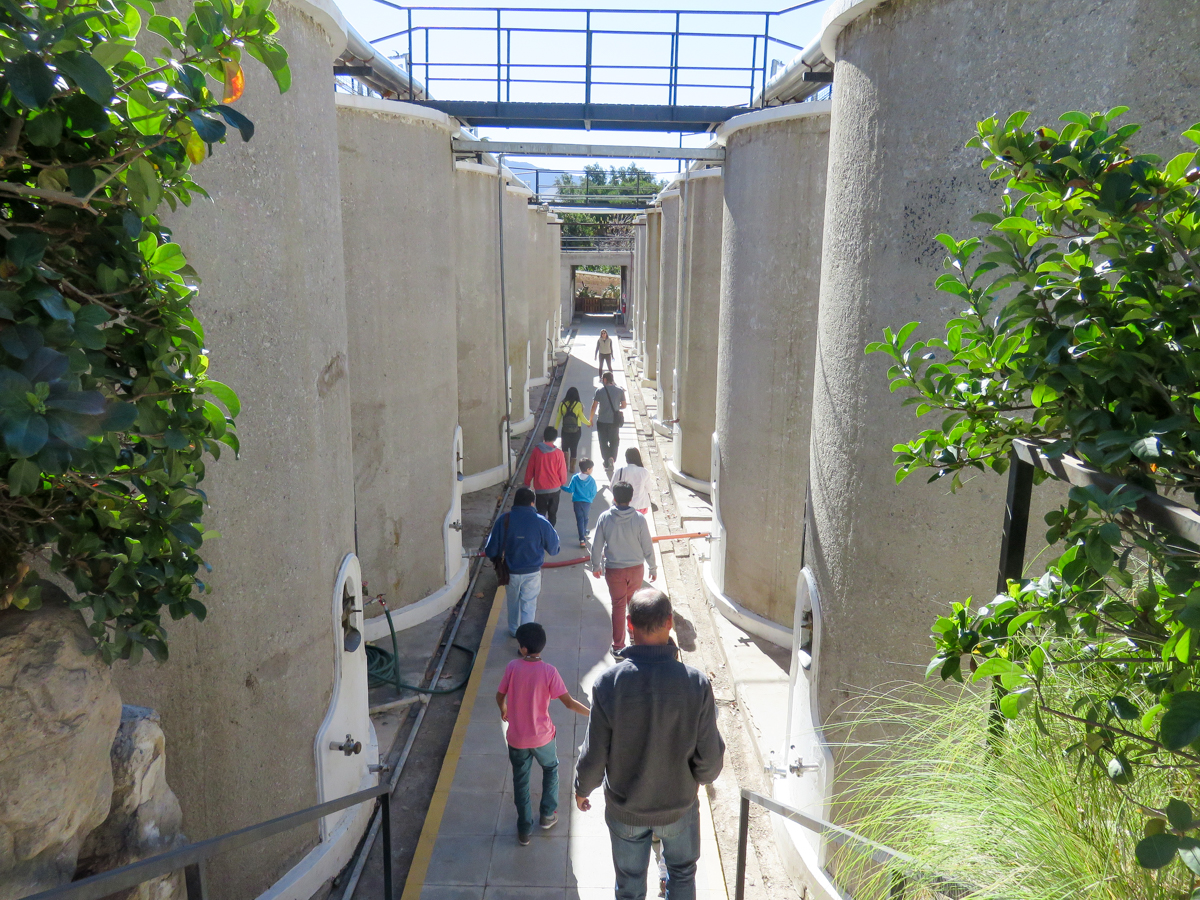 Similar to wine grapes, the grapes destined for pisco are fermented in large vats.